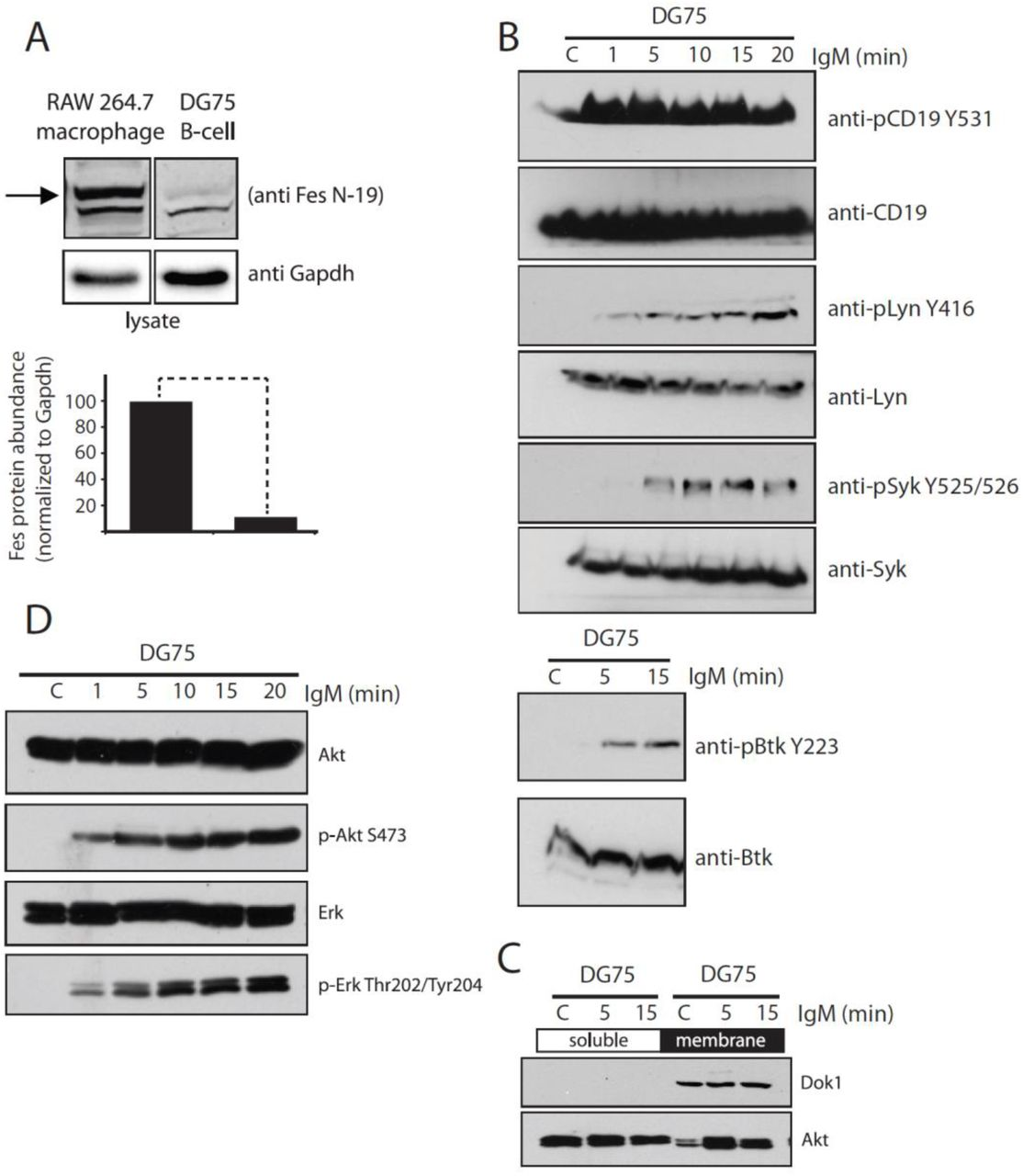 (A) Western blot analysis of endogenous Fes kinase from RAW684.3 (macrophage) and DG75 (B-lymphocyte) cell lines (Arrow indicates Fes protein band). Quantification of cellular protein levels is normalized to Gapdh and shown in the lower panel. (B) Western blot validation of activating phosphorylation sites on known BCR responders such as Syk, Btk, Lyn and CD19 showed a strong engagement of diverse signaling cascades following BCR stimulation of DG75 cells. (C) Downstream signaling pathways such as the recruitment of Akt to the membrane (Dok1 localization to the membrane is shown as a control for membrane preparations) and (D) activation of Akt and Erk pathways, as measured by phosphorylation of S473 and T202/Y204 respectively, confirmed DG75's suitability as a model system for BCR activation and signal processing.