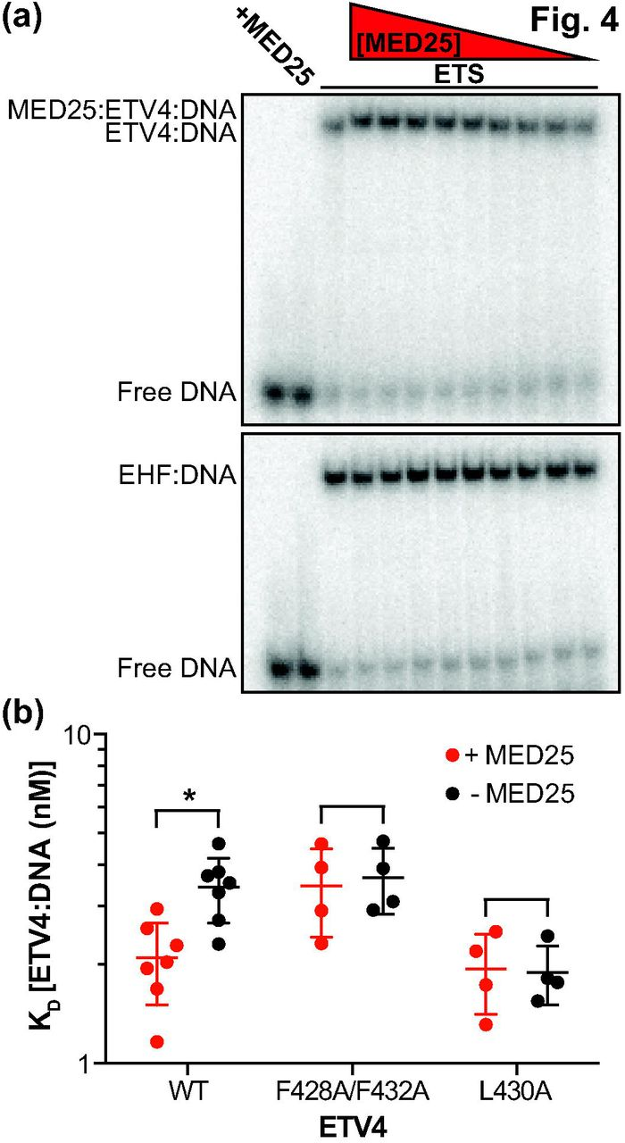 ETV4 and AP1 transcription factors form multivalent