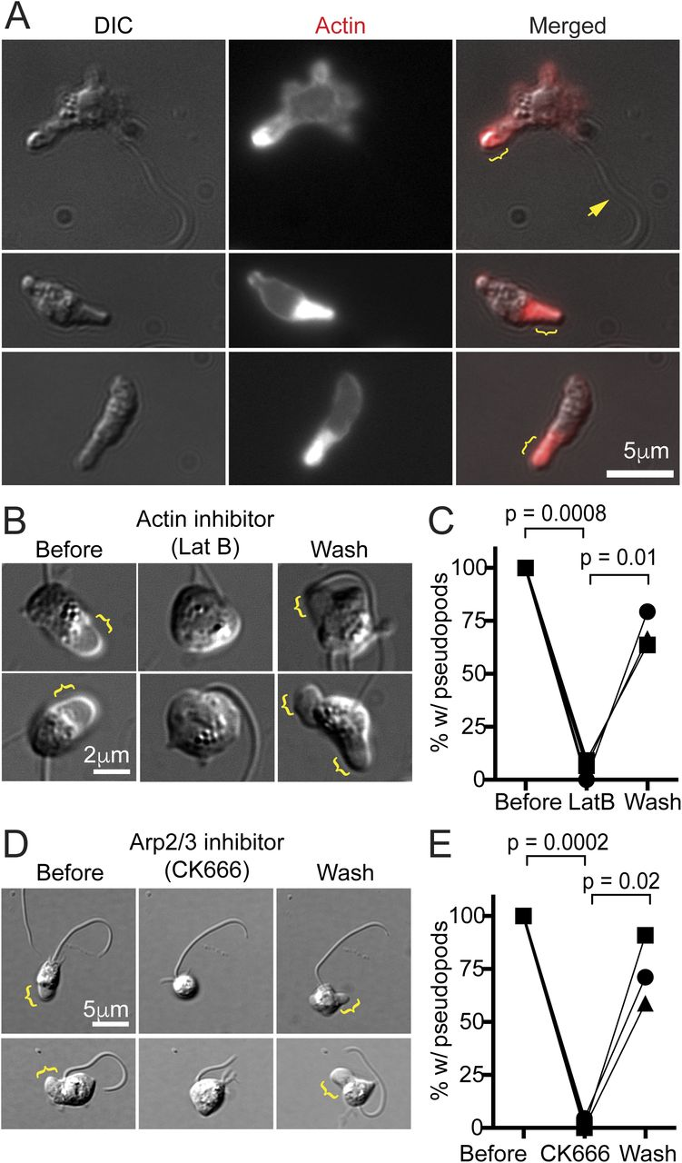 WASP and SCAR are evolutionarily conserved in actin-filled pseudopod