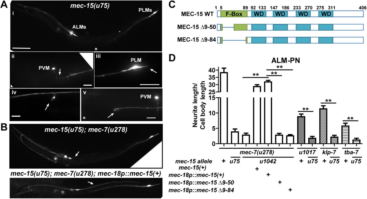 Distinct effects of tubulin isotype mutations on neurite