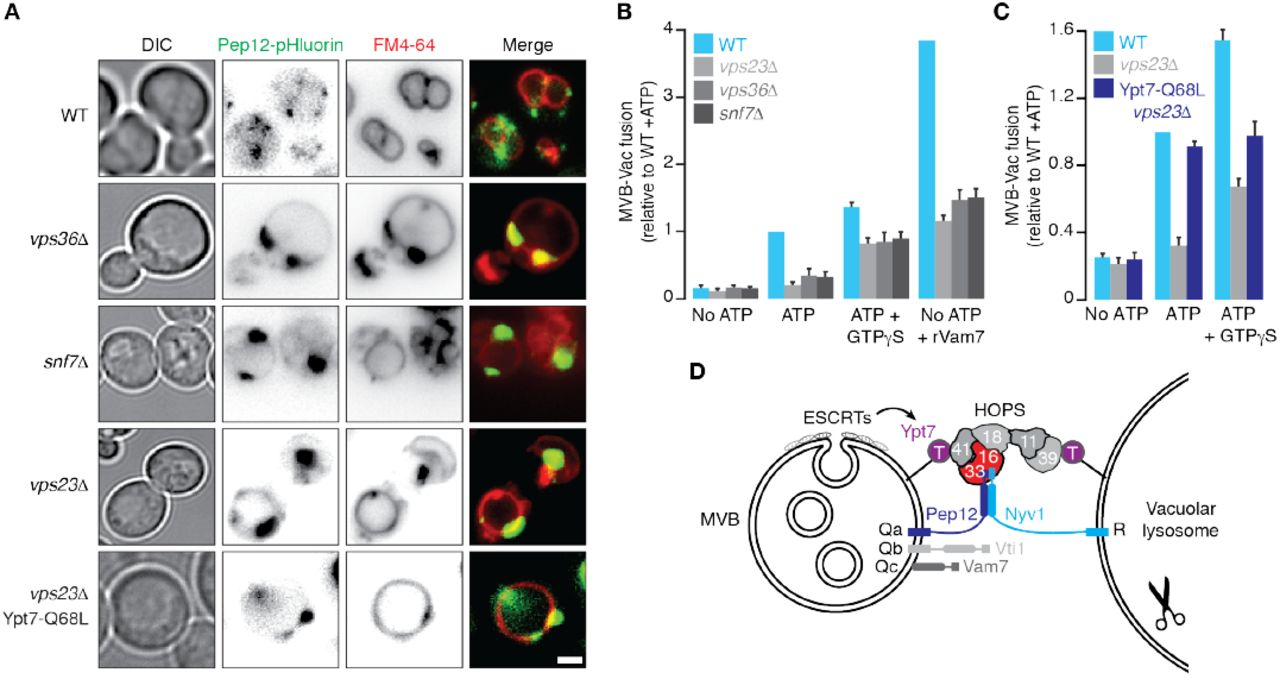 Distinct features of multivesicular body-lysosome fusion