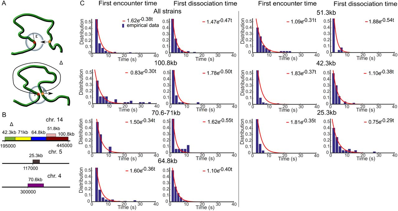 Two loci single particle trajectories analysis: constructing a first