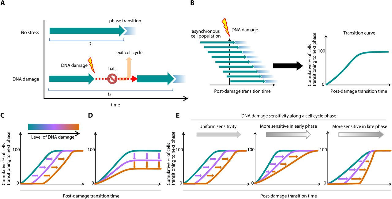 DNA damage checkpoint dynamics drive cell cycle phase