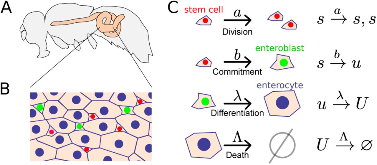 A model for adult organ resizing demonstrates stem cell scaling