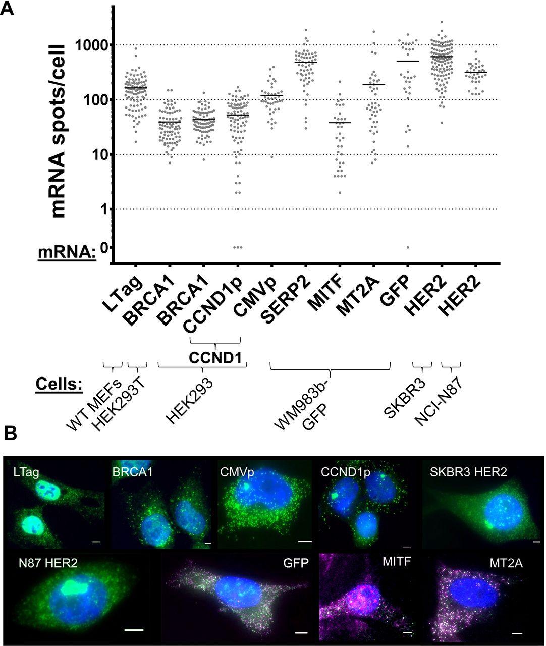 Intercellular mRNA trafficking via membrane nanotubes in