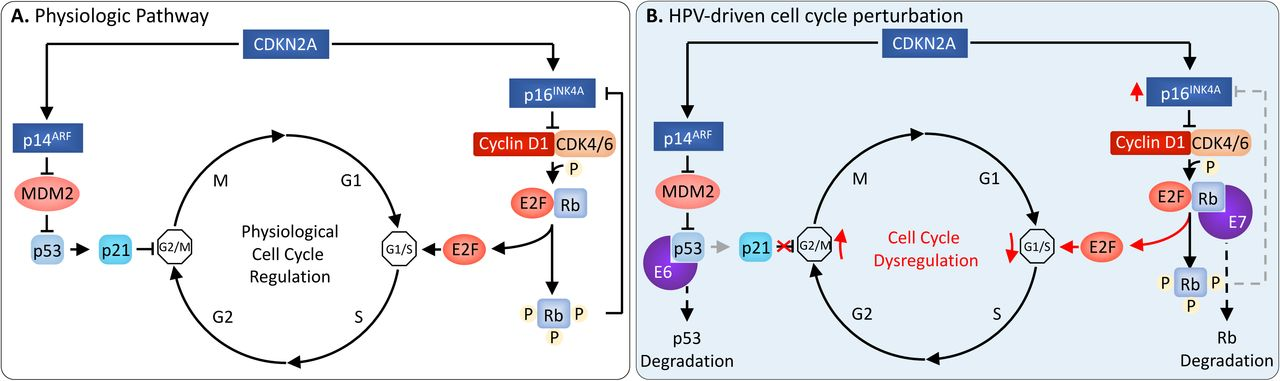 Molecular mechanisms of human papillomavirus-related