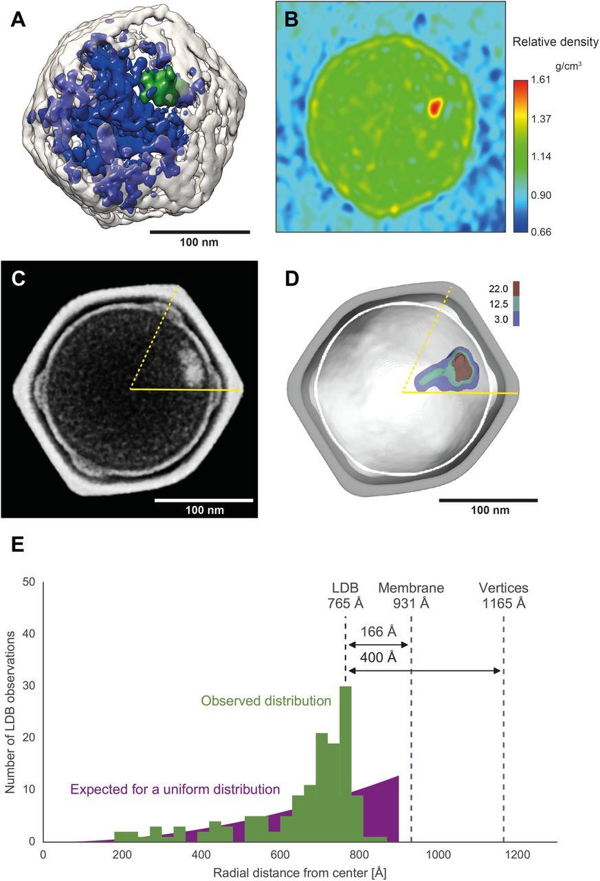 Cryo-EM of a Marseilleviridae virus particle reveals a large