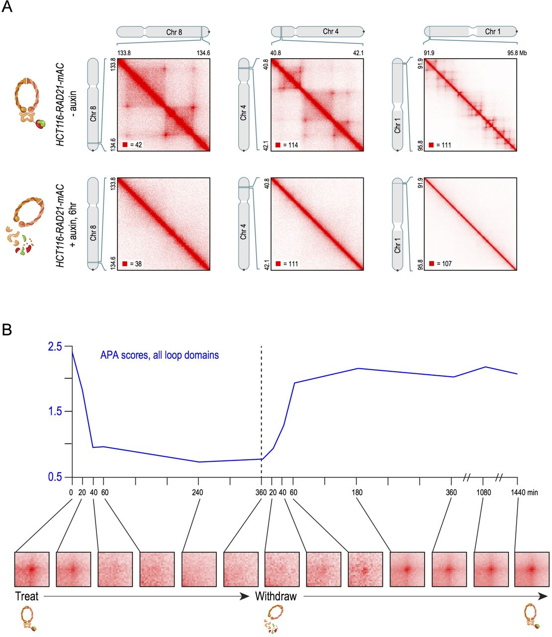 Cohesin loss eliminates all loop domains, leading to links