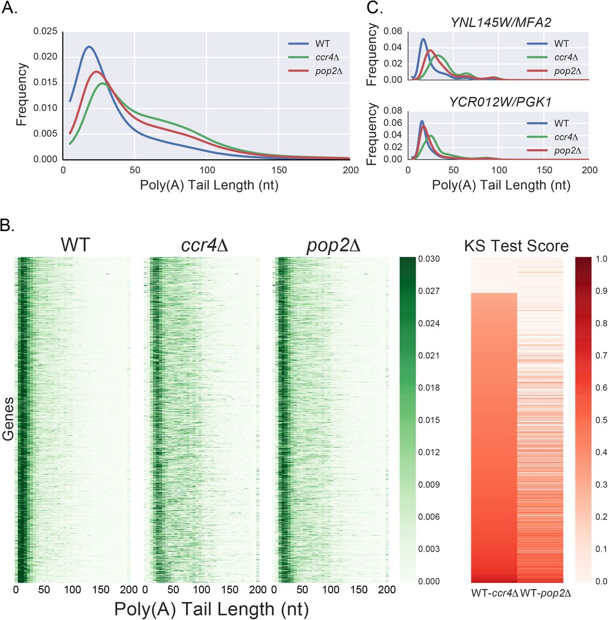 Ccr4 and Pop2 control poly(A) tail length in Saccharomyces