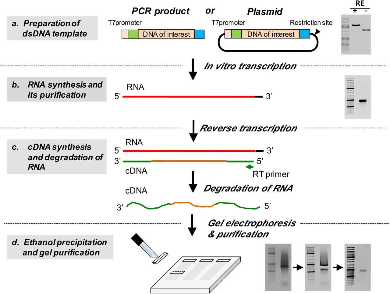 An Efficient CRISPR protocol for generating Conditional and Knock-in