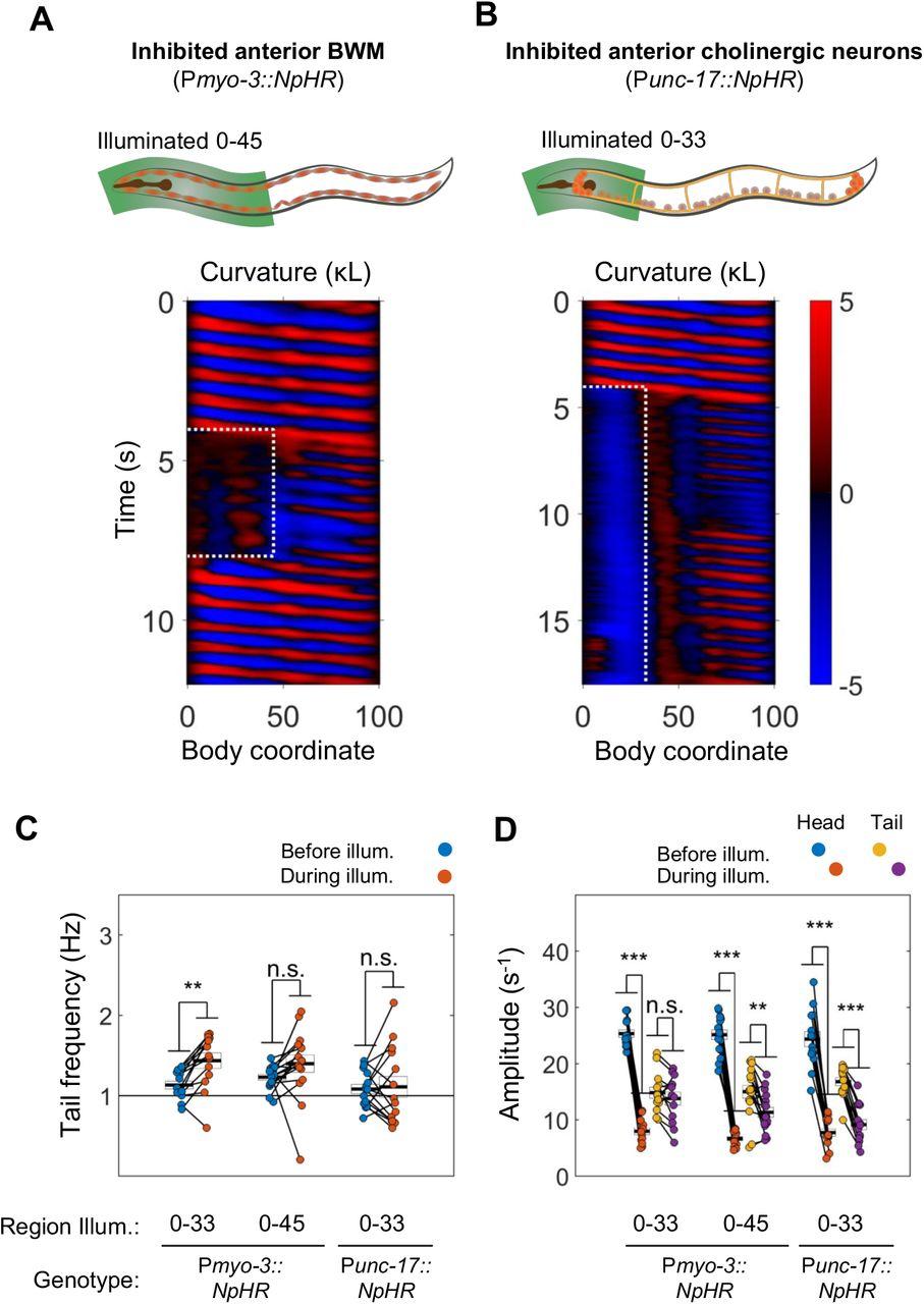 Distributed rhythm generators underlie Caenorhabditis elegans