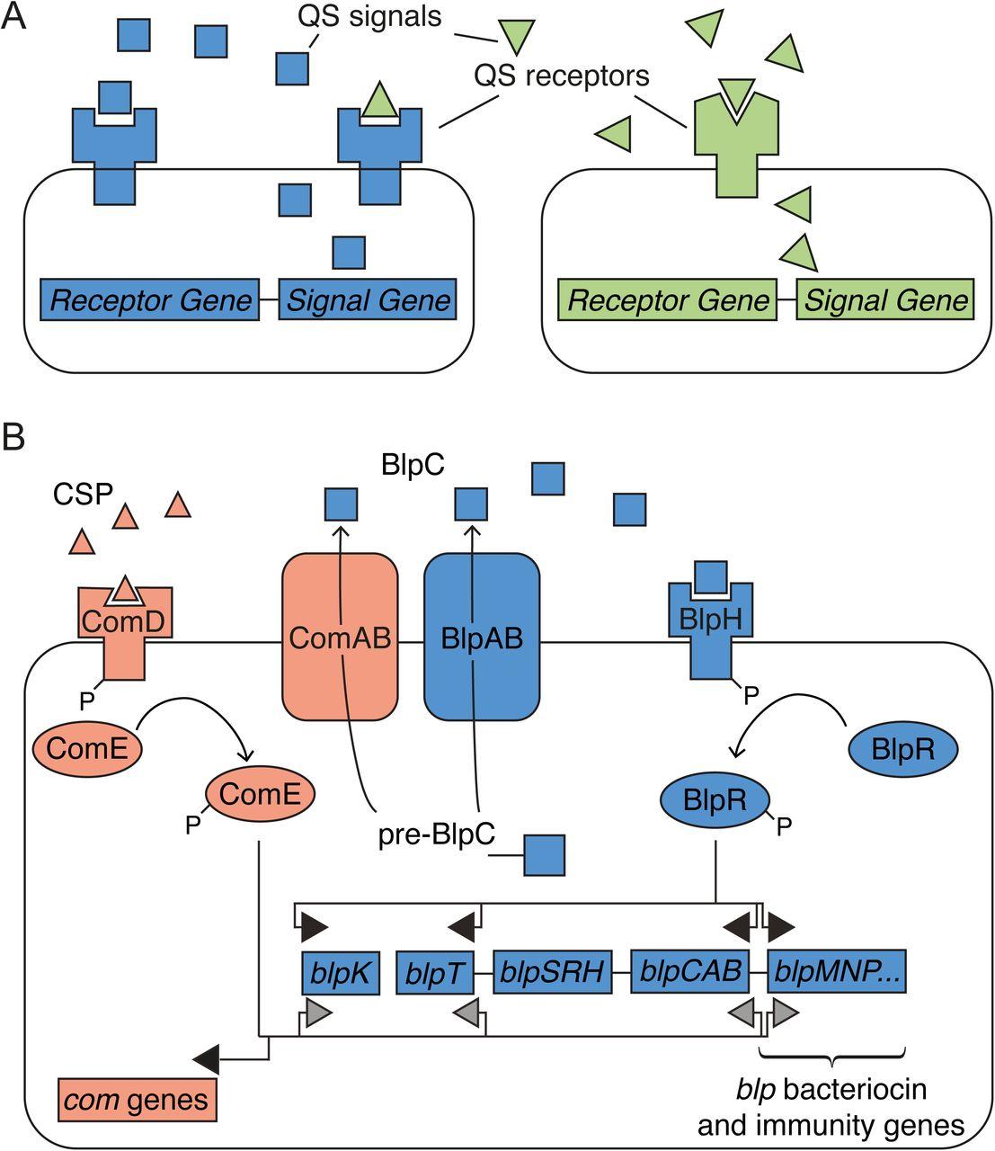 Crosstalk And Eavesdropping Among Quorum Sensing Peptide