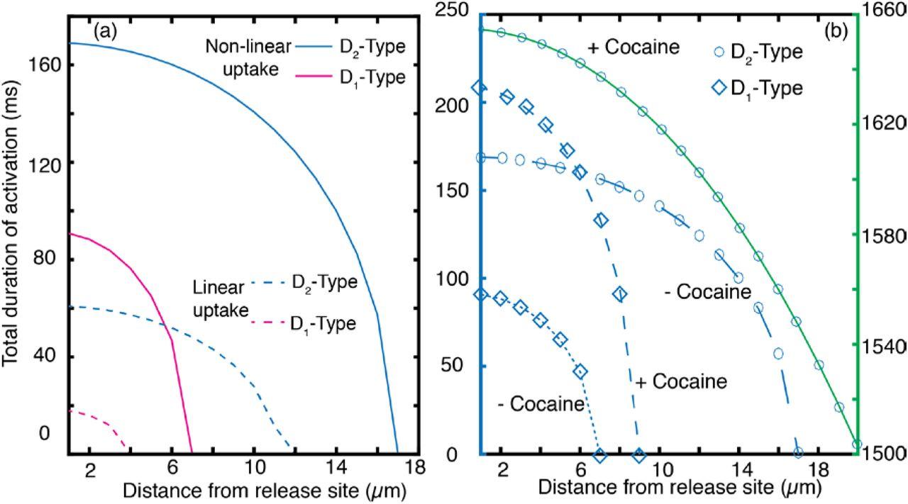 Stochastic Simulation of Dopamine Neuromodulation for
