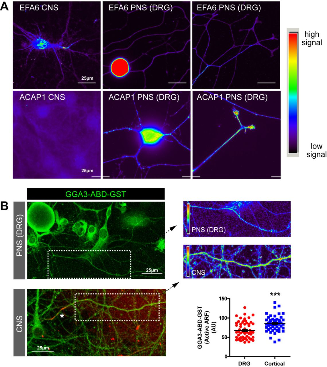 ARF6 is regulated differently in CNS vs . PNS neurons. (A) Cortical neurons and adult DRG neurons immunolabelled for EFA6 (upper panels) or ACAP1 (lower panels). Both neuronal types were labelled and imaged identically to allow comparison of fluoresent signal. Images represent two independent immunolabelling experiments. (B) Axons of DRG and cortical neurons (+DIV10) labelled with <t>GGA3-ABD-GST</t> to detect active <t>ARF.</t> Graph shows quantification of ARF activation in the two axon types. n=58(DRG) and 60(cortical). ***p