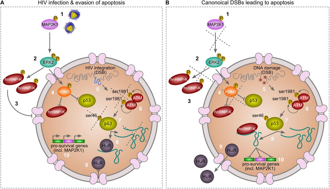 Map2k1 Pathway.Viral Apoptosis Evasion Via The Mapk Pathway By Use Of A Host Long