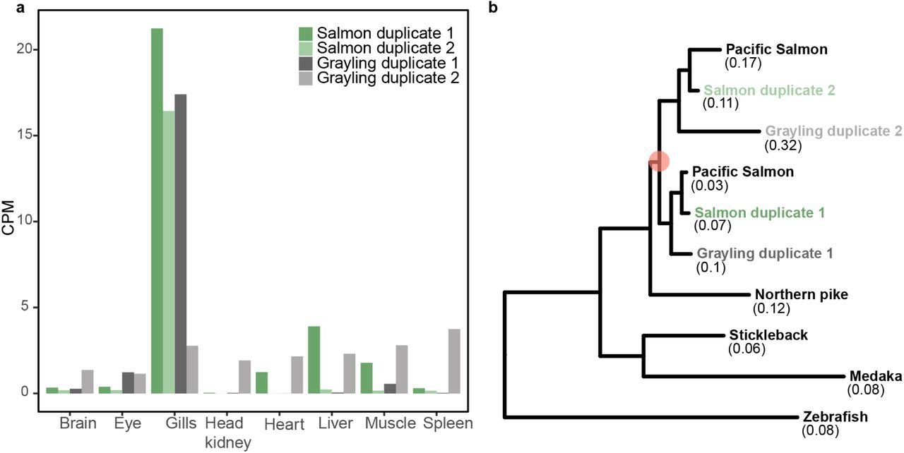 The grayling genome reveals selection on gene expression regulation
