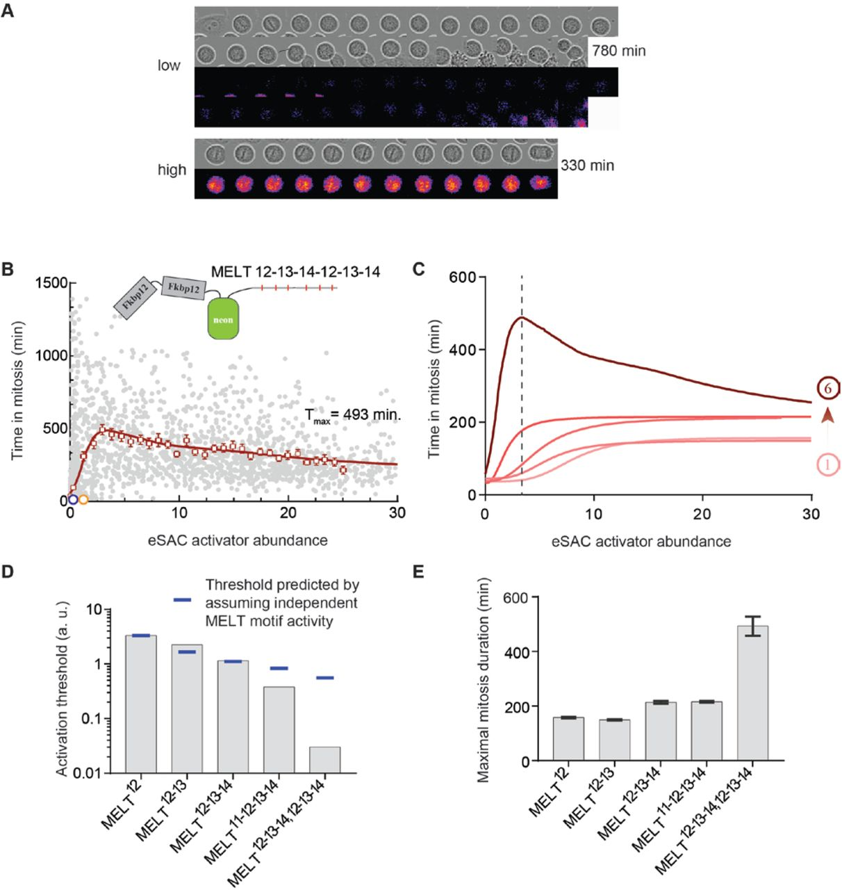 Ectopic activation of the Spindle Assembly Checkpoint
