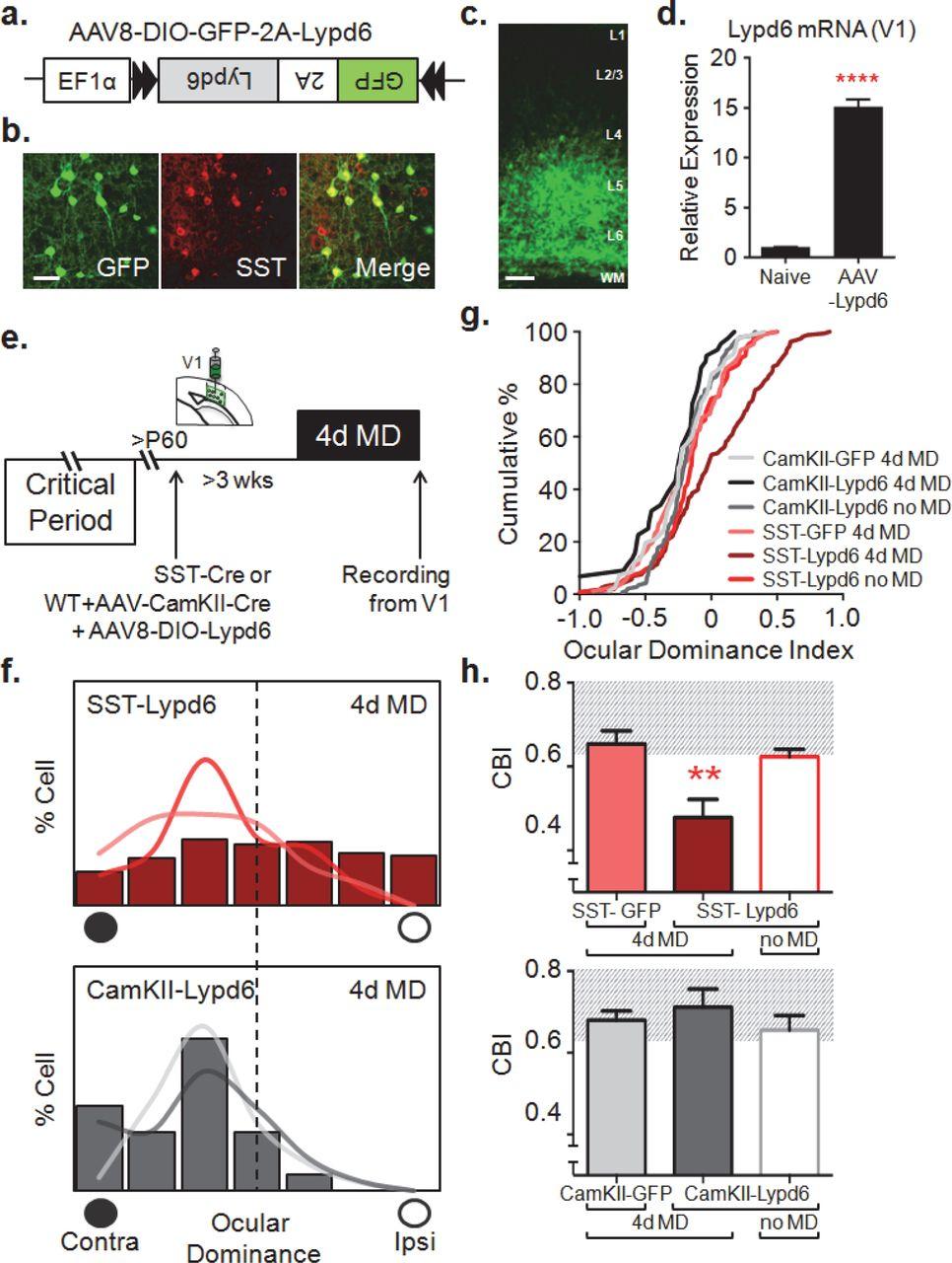 Activation of Somatostatin Inhibitory Neurons by Lypd6-nAChRα2