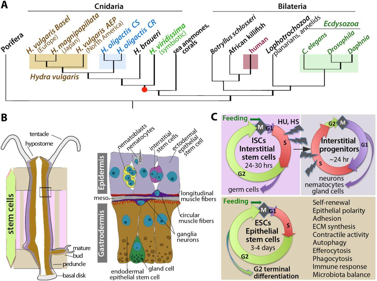 stem system vs hydra