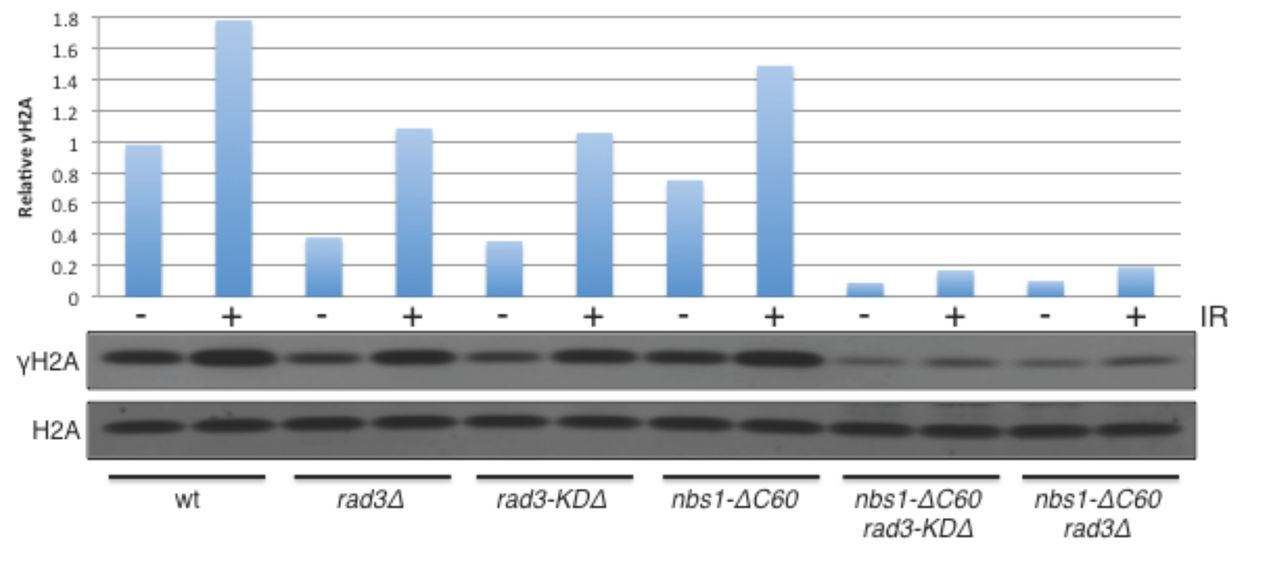 Sequential interactions with Mre11-Rad50-Nbs1 activate ATM/Tel1 at