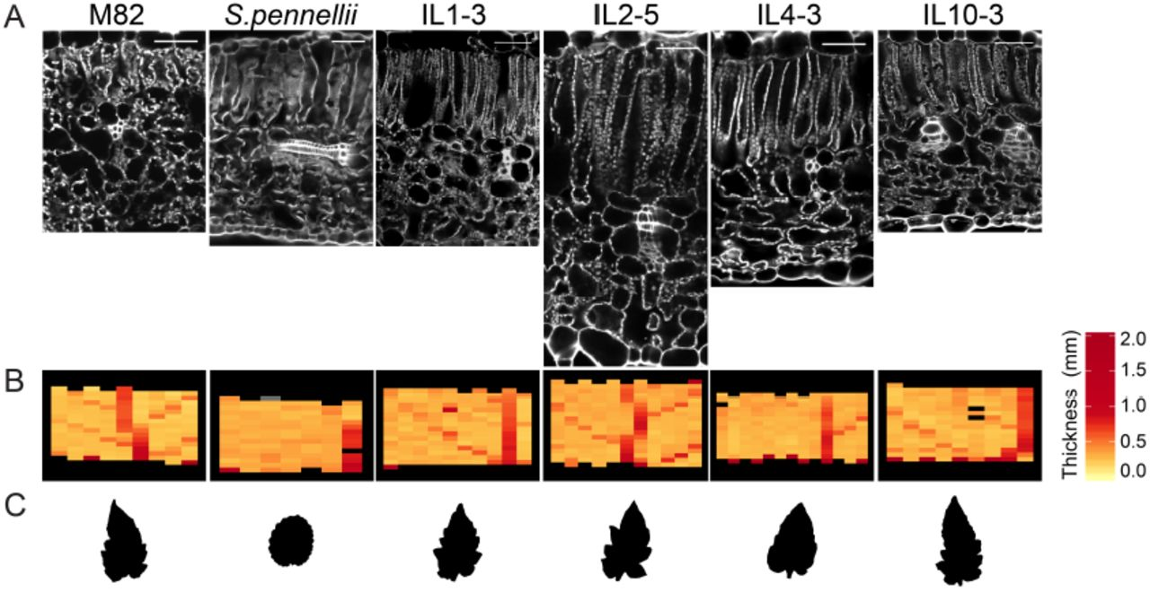 Genetic Architecture and Molecular Networks Underlying Leaf
