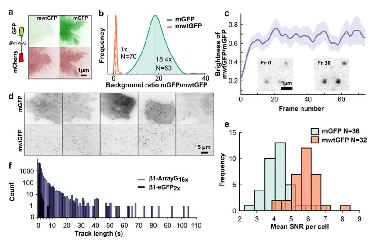 A Fluorogenic Array Tag for Temporally Unlimited Single Molecule