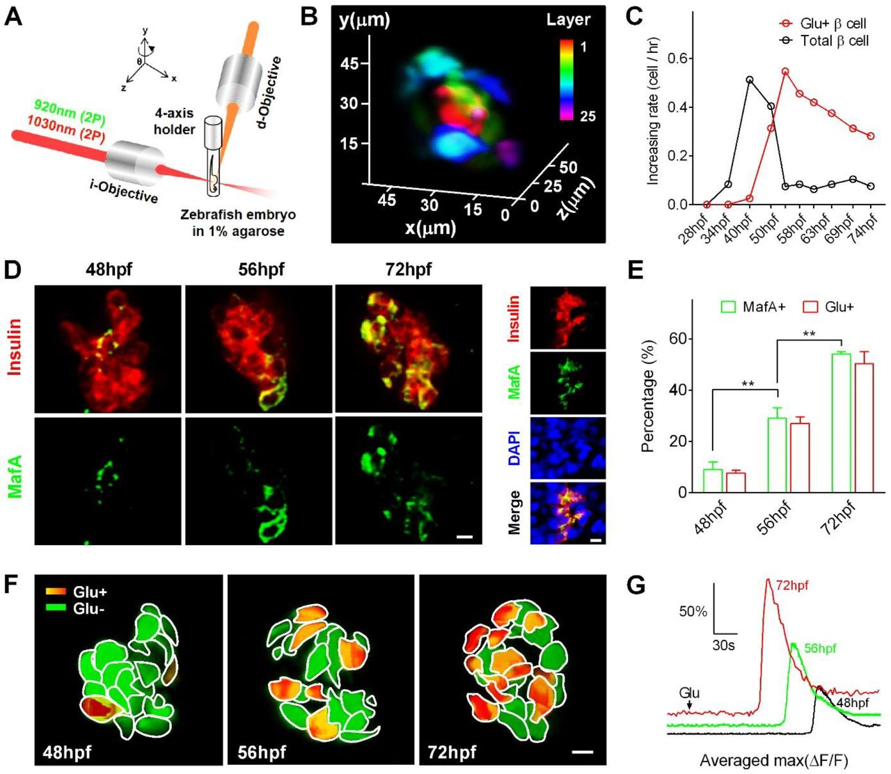 In vivo Imaging β-cell Function Reveals Two Waves of β-cell