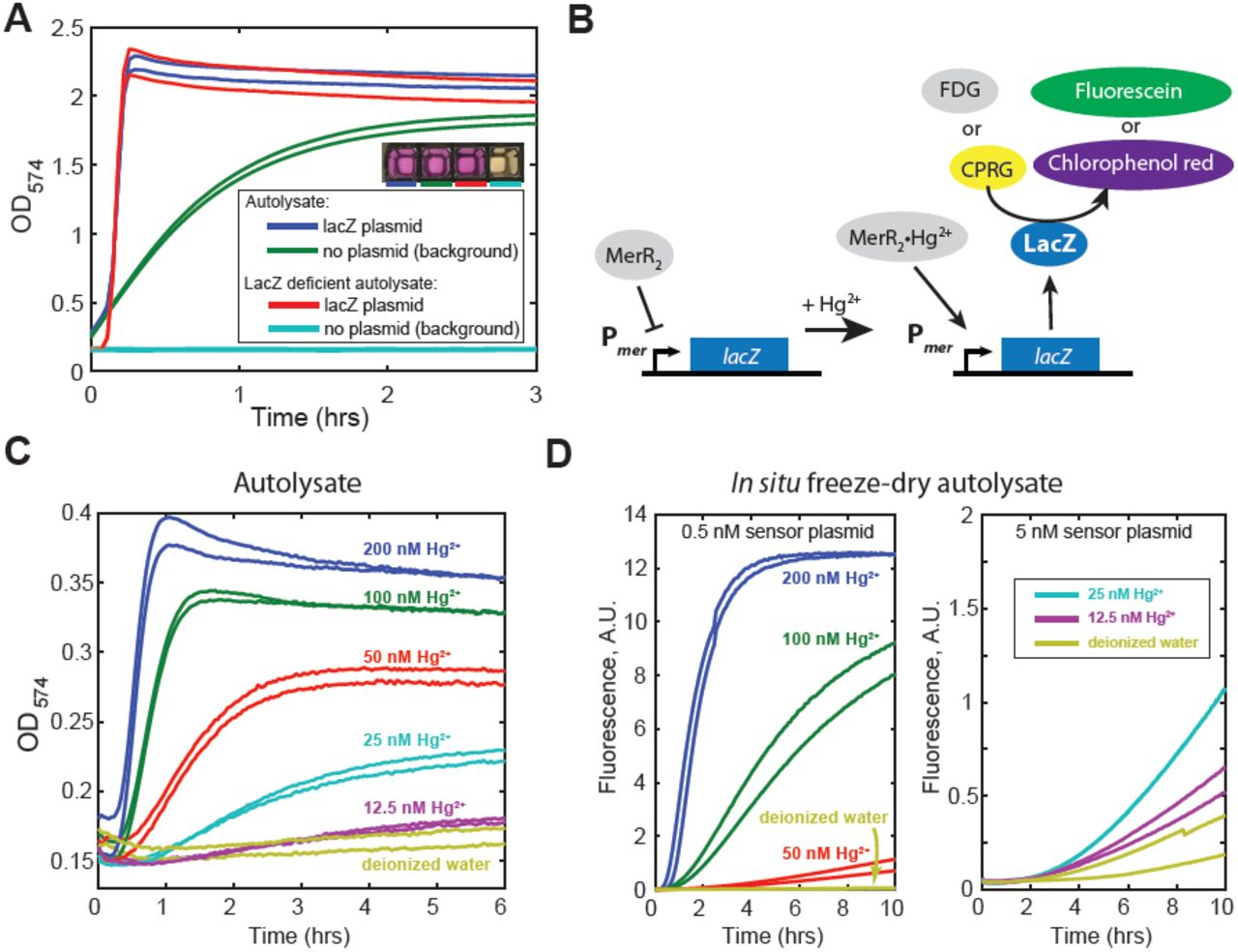 Rapid and scalable preparation of bacterial lysates for cell