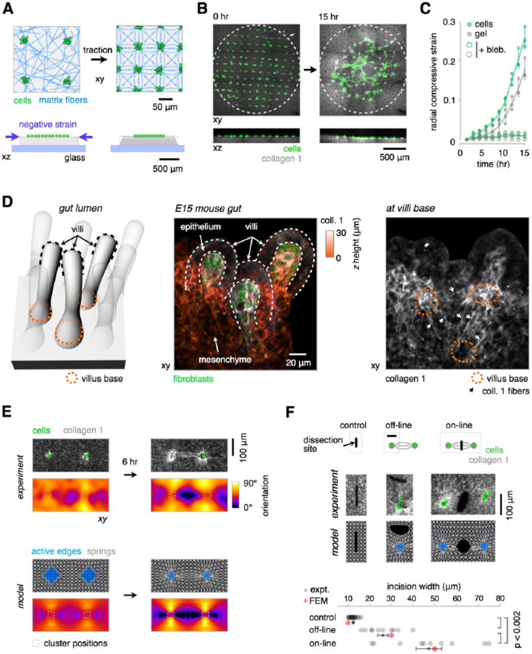 Tissue Folding by Mechanical Compaction of the Mesenchyme | bioRxiv