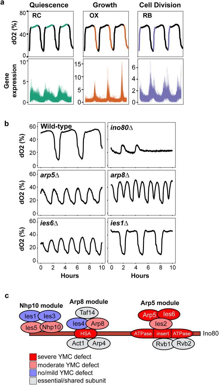 INO80 Chromatin Remodelling Coordinates Metabolic