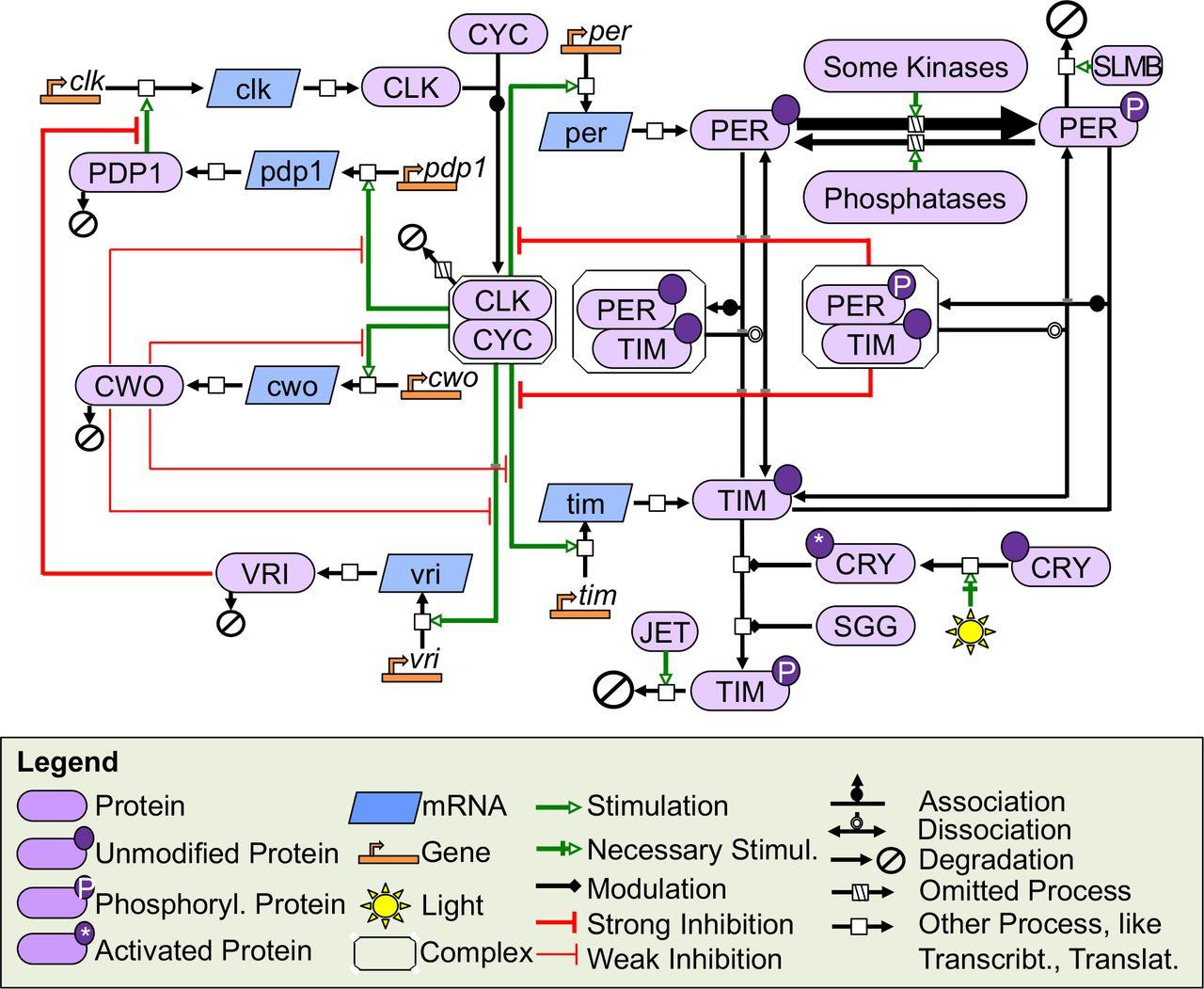FlyClockbase: Importance of Biological Model Curation for