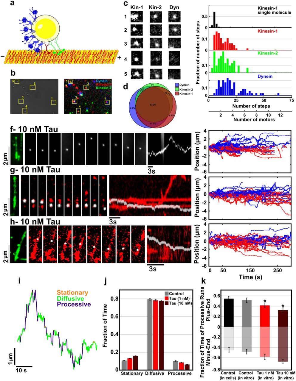 Tau directs intracellular trafficking by regulating the