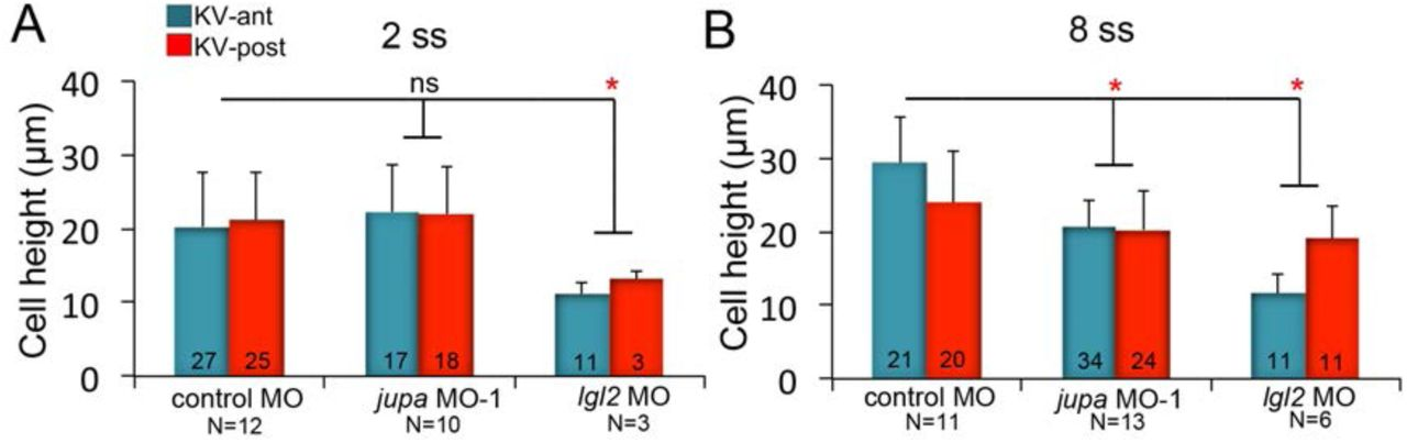 cdce188d2d Asymmetric cell volume changes regulate epithelial morphogenesis in ...