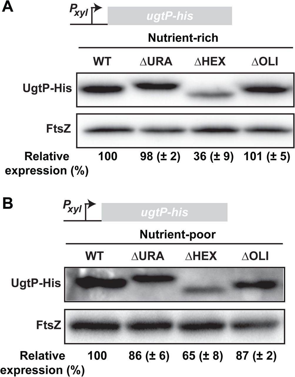 A nutrient-dependent division antagonist is regulated post