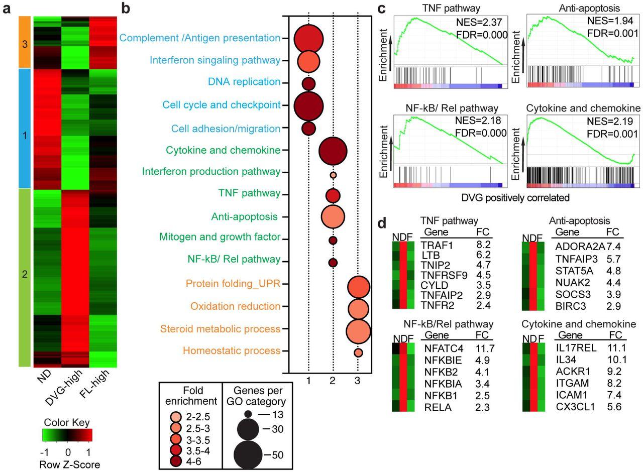 Replication defective viral genomes exploit a cellular pro