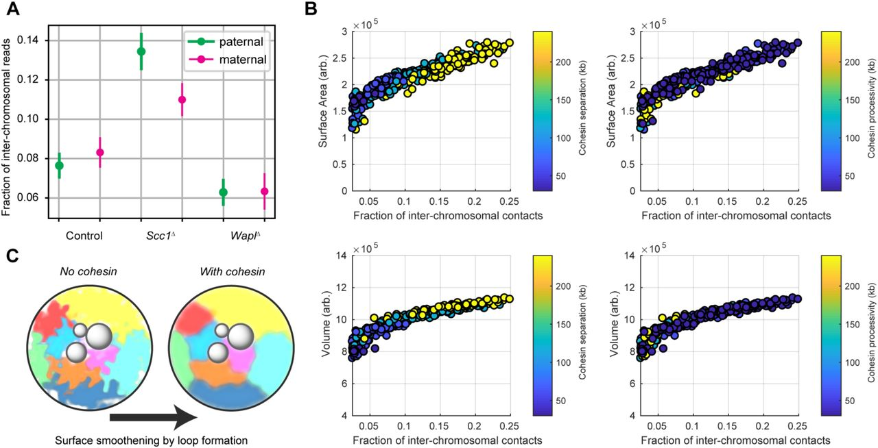 A Mechanism of Cohesin-Dependent Loop Extrusion Organizes Zygotic