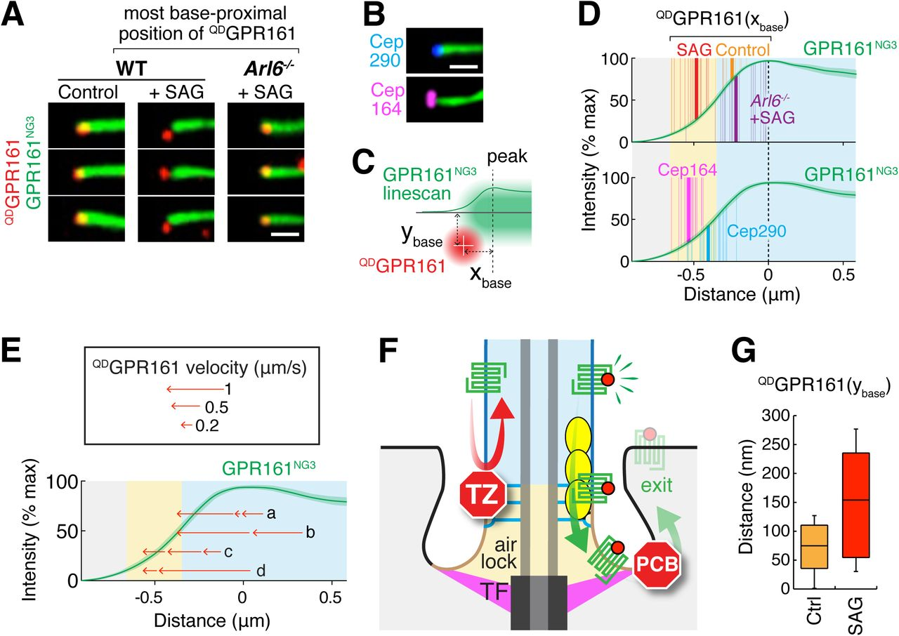 BBSome trains remove activated GPCRs from cilia by enabling passage