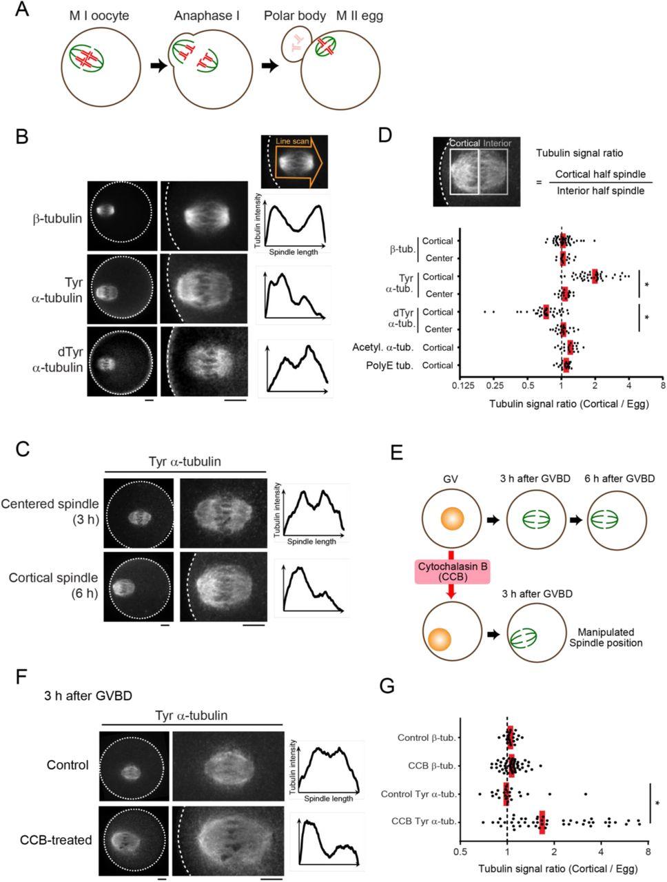 Spindle asymmetry drives non-Mendelian chromosome