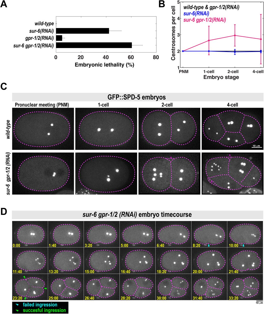 Phosphatase PP2A and microtubule pulling forces disassemble
