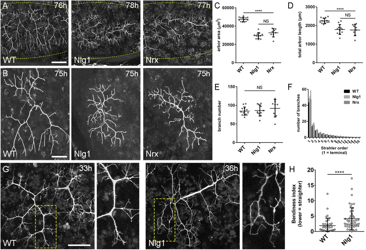 Neurexin and Neuroligin-based adhesion complexes drive