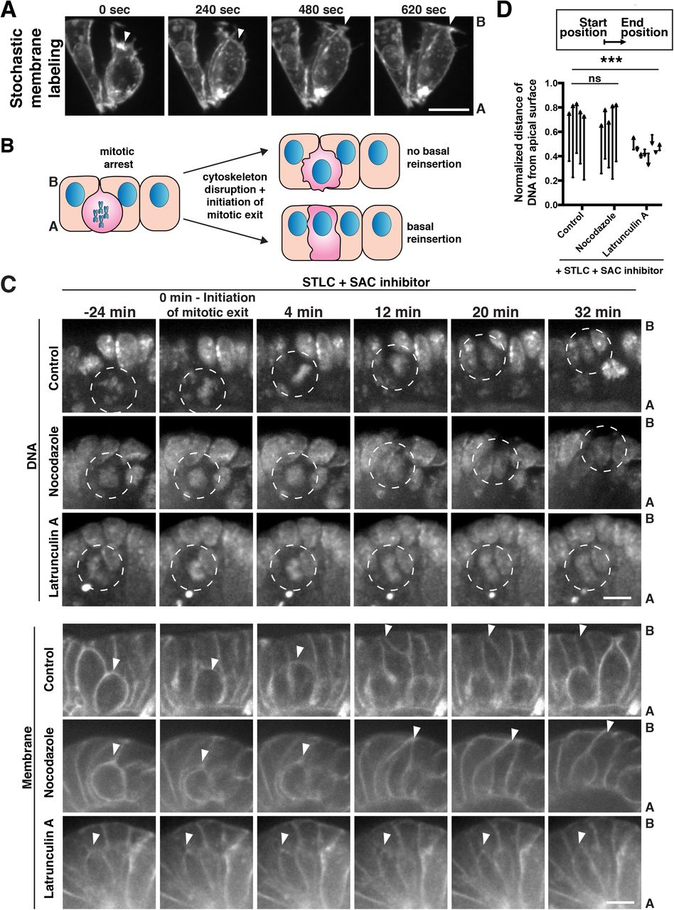 The actin cytoskeleton governs apical mitosis and daughter cell