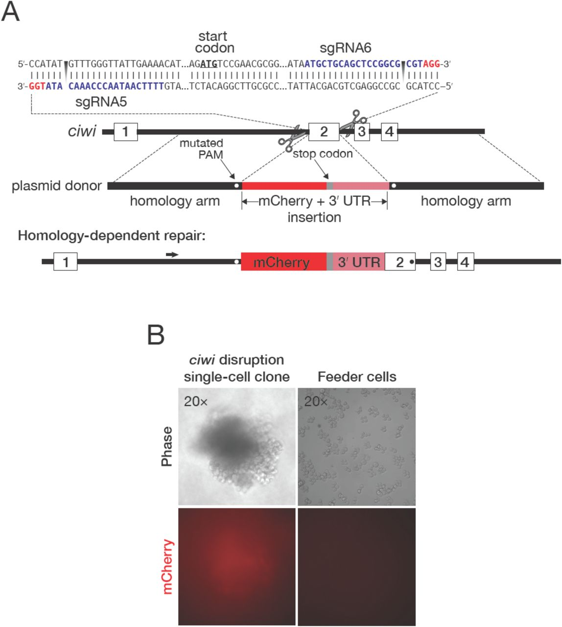 The genome of Trichoplusia ni, an agricultural pest and