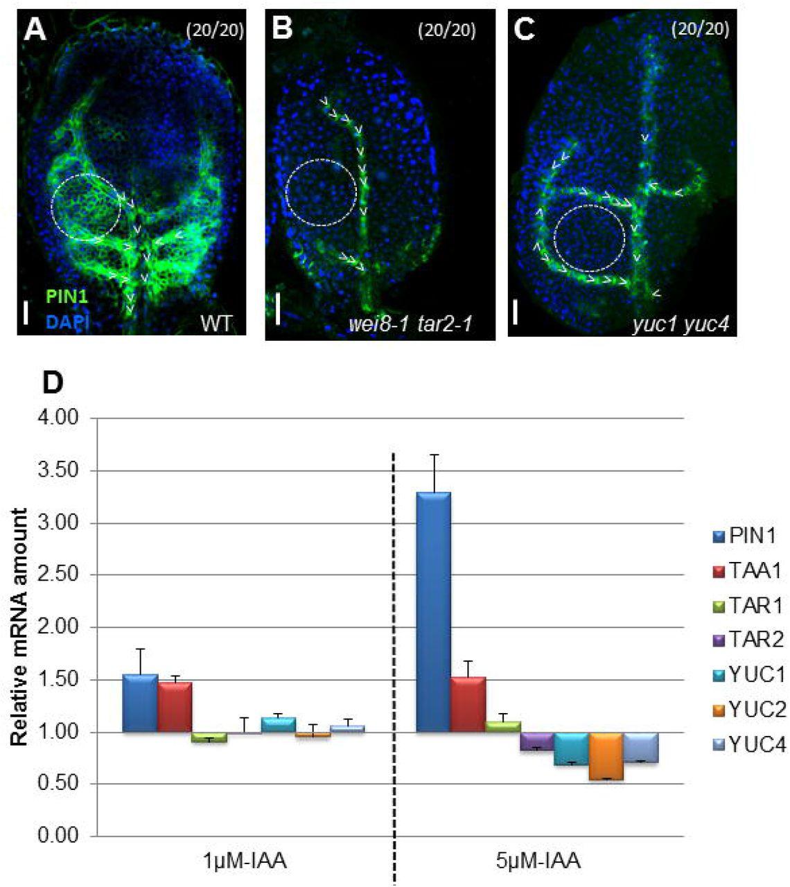 Tissue specific auxin biosynthesis regulates leaf vein