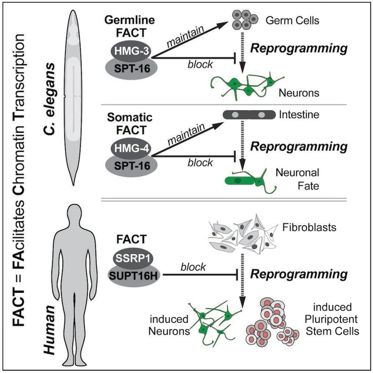 FACT sets a barrier for cell fate reprogramming in C
