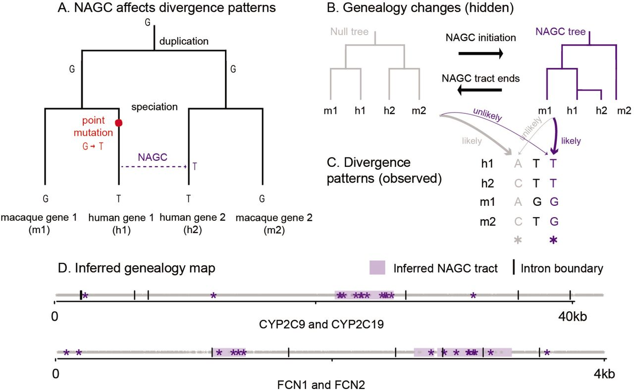 Frequent non-allelic gene conversion on the human lineage
