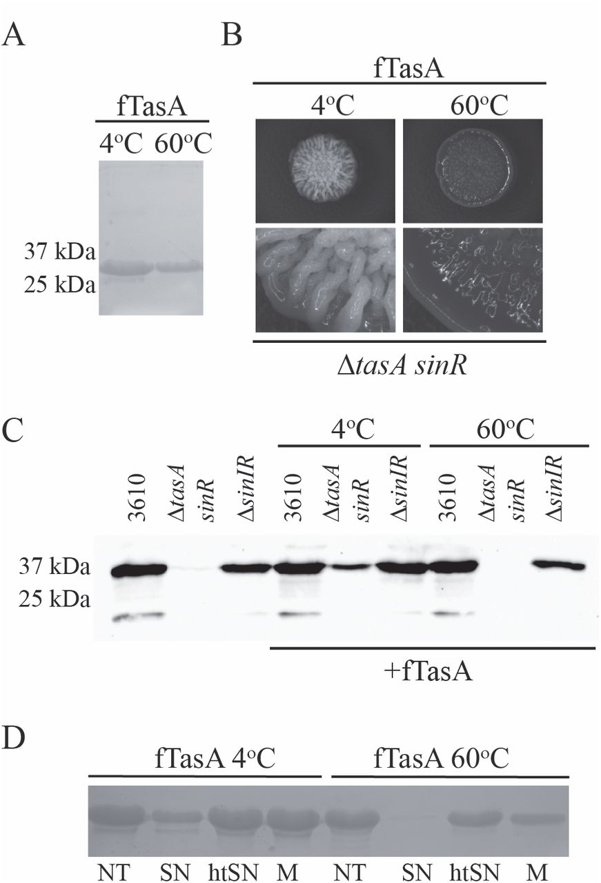 Formation of functional, non-amyloidogenic fibres by