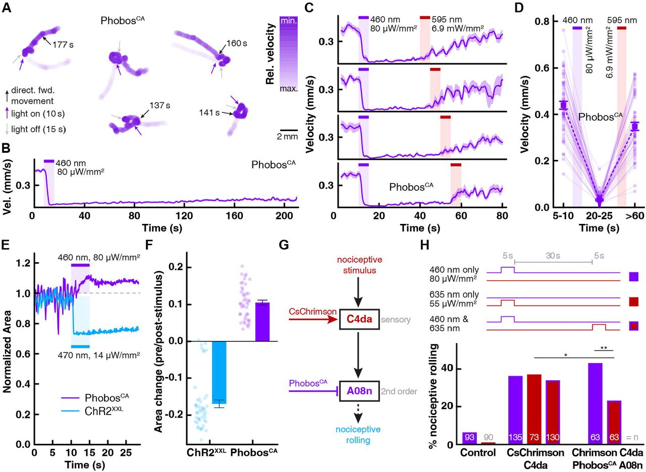 Anion-conducting channelrhodopsins with tuned spectra and