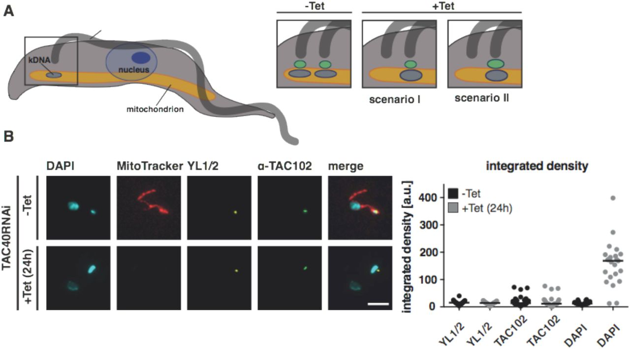 A molecular model of the mitochondrial genome segregation
