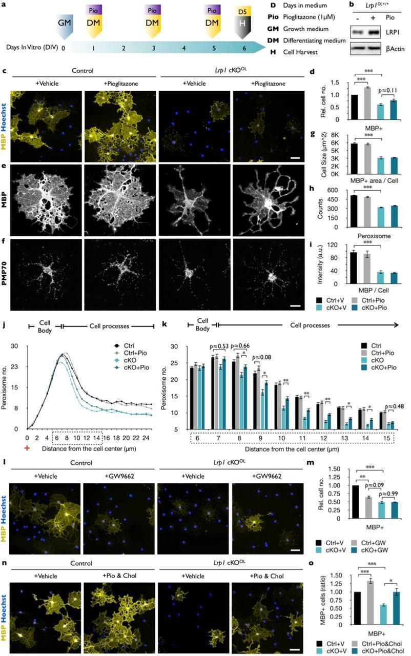 LRP1 Regulates Peroxisome Biogenesis and Cholesterol