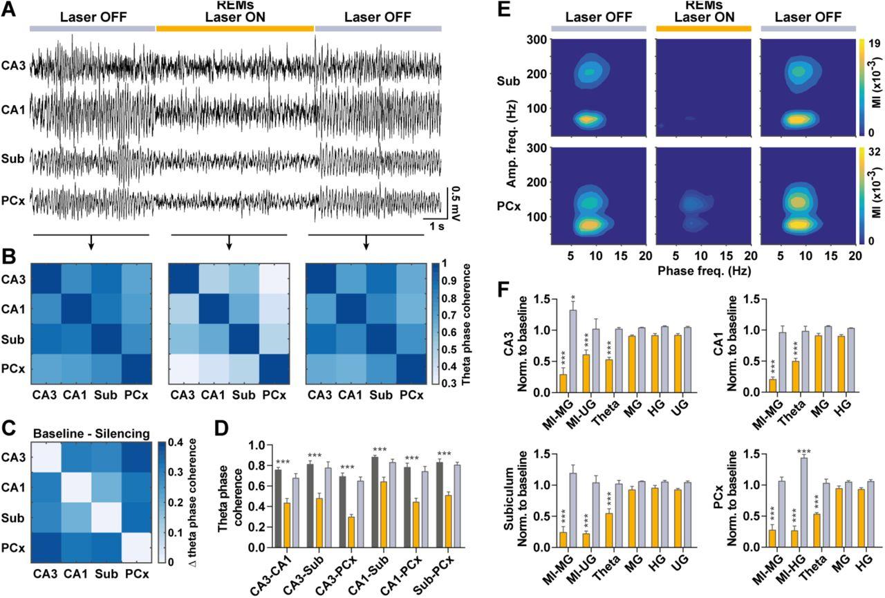 Dynamical modulation of theta-gamma coupling during REM sleep | bioRxiv